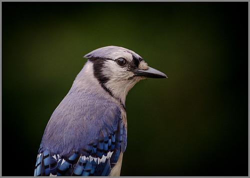 Blue Jay   25
