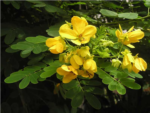 1.Cassia splendida, Flowery Senna or Yellow Senna