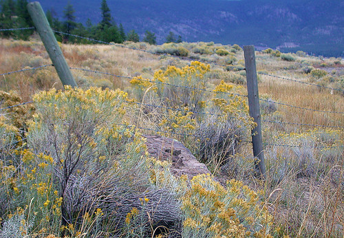 sagebrush blooming in the fall
