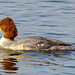 Common Merganser by orencobirder