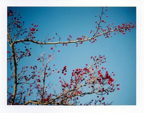 Red Berries, Blue Sky