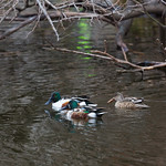 Northern shovelers, 2 males, 1 female, Central Park