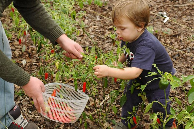 picking-peppers