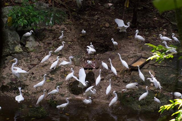 Snowy Egret Feeding Frenzy