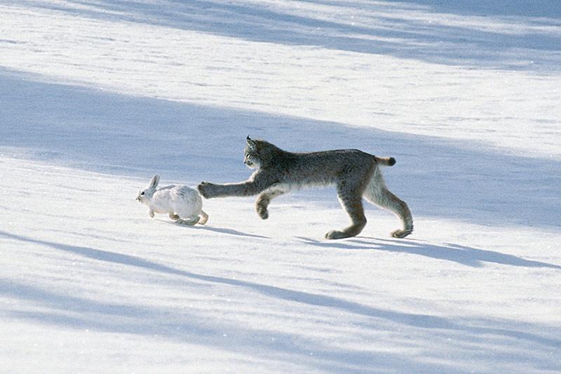 Wildlife in British Columbia, Canada: Canada Lynx / Canadian Lynx