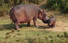 Hippo mom w/ baby