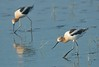 American Avocet by Mark Schwall