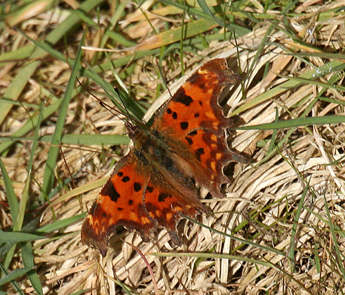 Comma Polygonia c-album Tophill Low NR, March 2014