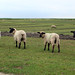 Schafe auf der Salzwiese