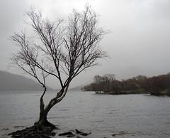 Tree by Padarn lake.