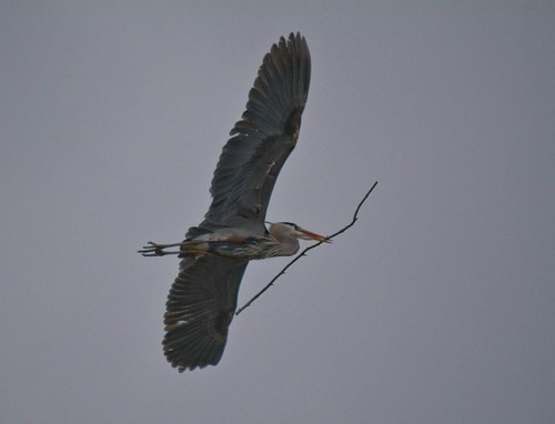 Nest Building Heron