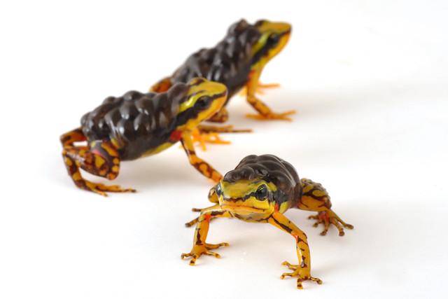 Dendrobatidae: Epipedobates tricolor
