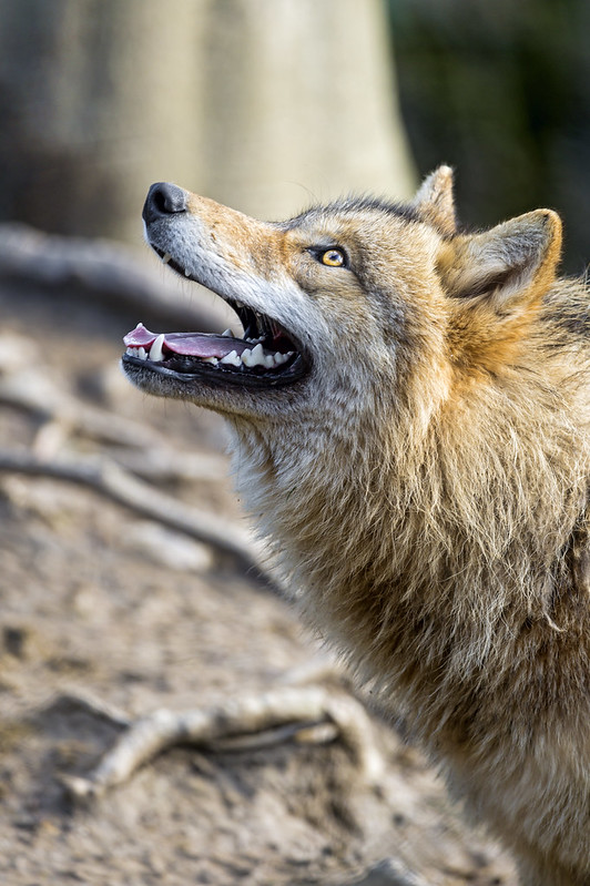 The young female wolf looking upwards