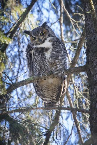 Great Horned Owl (M)