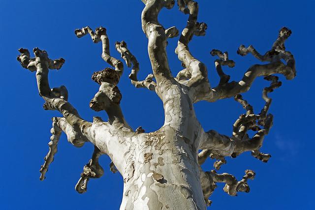 Tree in Teror
