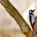 Small photo of Great Spotted Woodpecker - RSPB Sandy