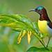 Purple-rumped Sunbird (Male) by Anuj Nair