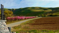 .Color adjusted ranch with fruit trees in bloom