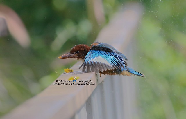 6F8A0181 White-Throated Kingfisher Juvenile, Canon EOS 7D MARK II, EF400mm f/5.6L USM