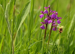 HolderGreen winged orchid.