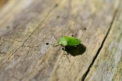 A Green Stink Bug