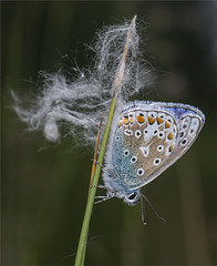 HolderCommon Blue Butterfly2 ^