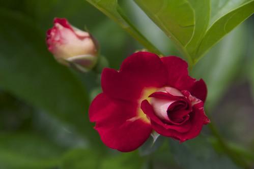 Deep Coral Rose