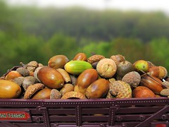 chestnut, agriculture, nuts & seeds, produce, fruit, food, nut,