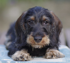 puppy(0.0), field spaniel(0.0), blue picardy spaniel(0.0), dachshund(0.0), dog breed(1.0), animal(1.0), hound(1.0), dog(1.0), schnoodle(1.0), petit basset griffon vendã©en(1.0), pet(1.0), english cocker spaniel(1.0), cockapoo(1.0), carnivoran(1.0),