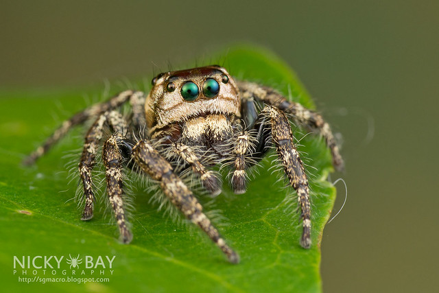 Jumping Spider (Salticidae) - DSC_8401