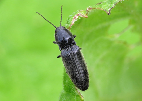 Click Beetle sp.