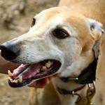 Greyhound Adventures at Cutler Park, Needham, MA July 21st 2013