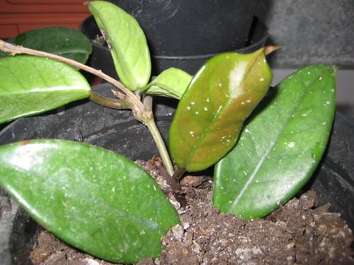 Nuova foglia di Hoya Carnosa
