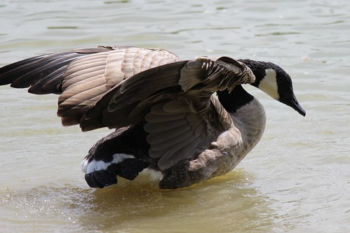 IMG_1012_Canada_Goose_with_Wings_Spread
