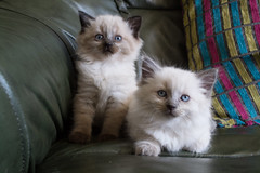 domestic long-haired cat, animal, kitten, napoleon cat, british semi-longhair, small to medium-sized cats, pet, ragdoll, cat, carnivoran, whiskers, birman, himalayan,