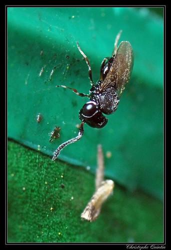 Scelionidae