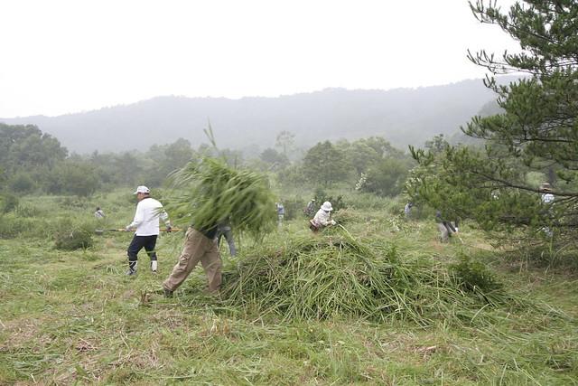 刈られた草を集めていく.