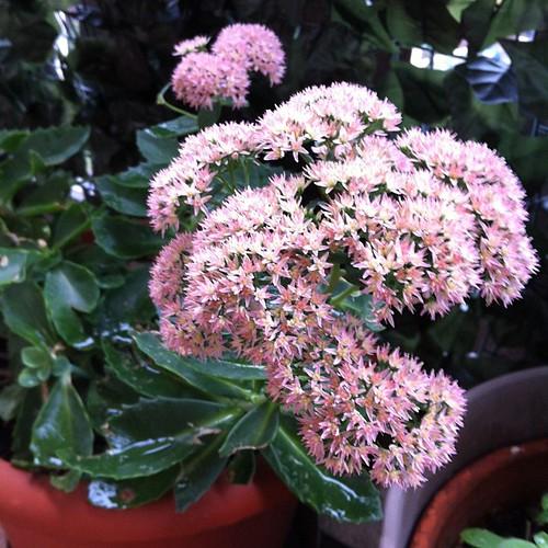 Good morning:) a flower from my Swedish grandma's garden:) buongiorno :) una pianta che arriva dal giardino di mia nonna svedese:)