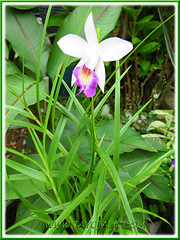 Newly planted Arundina graminifolia (Bamboo Orchid) at the inner bed, Sept 28 2013