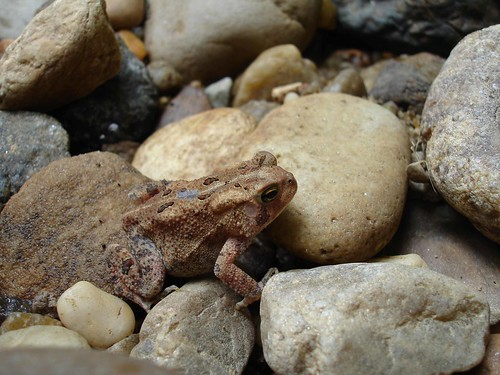 Image of an American Toad