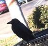 Crow sitting on shopping cart