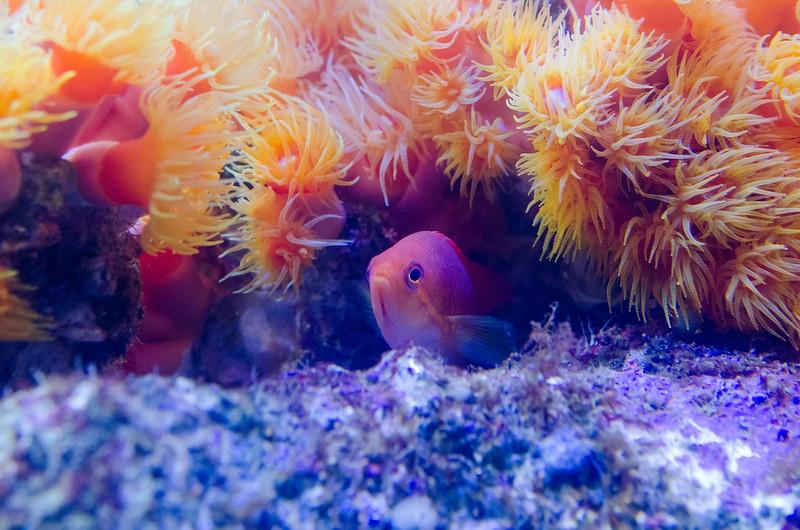 キンギョハナダイとイボヤギ Sea goldie & Tubastrea aurea
