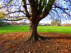 Tree, Station Lane field, Hedon