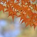 autumn leaves by snowshoe hare