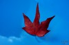 Red Leaf on my Car by fs999