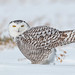 snowy owl by Ryan Griffiths
