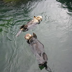 A pair of sleeping otters