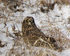 Short-eared Owl/ CVG Airport/ 1-18-2014