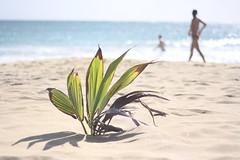 Pflanze am Strand - Martinique, Karibik