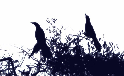 December morning grackles
